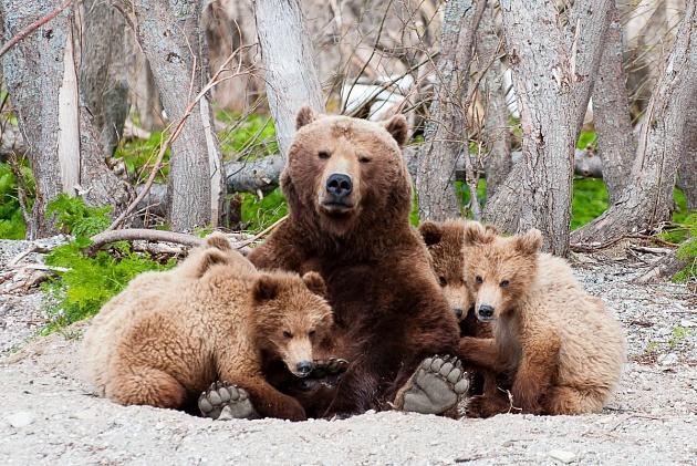 Камчатской медведице Матрёне присвоен неофициальный статус матери-героини