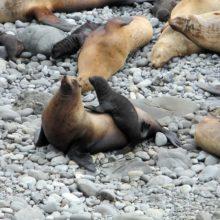 Перепись северного морского льва, занесенного в Красную книгу России, проведут на острове Медном
