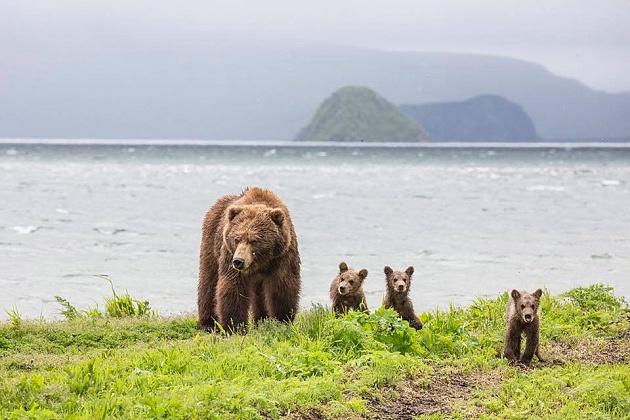 В свободное плавание: медвежата Матрёны отправились во взрослую жизнь