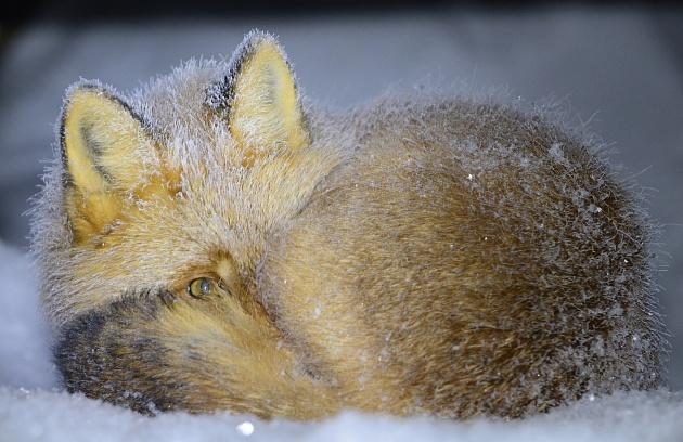 Камчатский сонный лис покорил жюри всероссийского фотоконкурса «Я в сердце изображения»