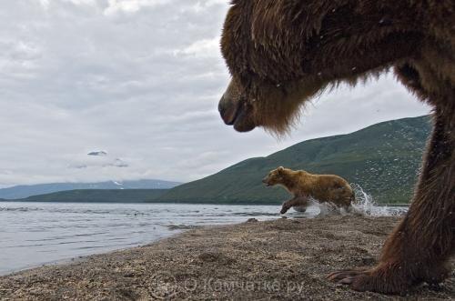 На Курильском озере на Камчатке застрелены два медведя-людоеда, убившие стажера