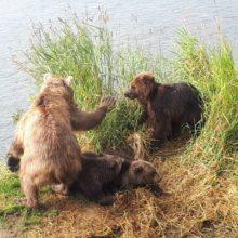 В Южно-Камчатском заказнике медведица «усыновила» осиротевшего медвежонка