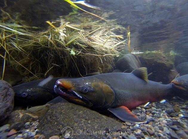 Жителям Камчатки расскажут о разнообразии лососевых рыб