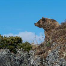 Место массового залегания бурых медведей Архипелаг Саманг