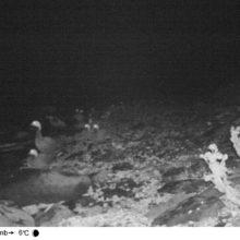 Ученые заповедника «Командорский» изучат краснокнижного белошея с помощью фотоловушки