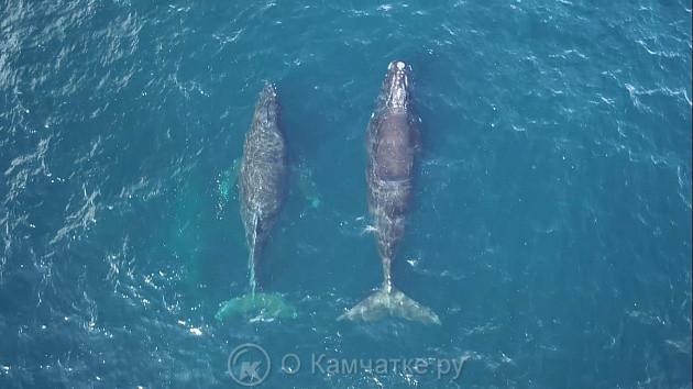 Самый редкий кит зарегистрирован в акватории заповедника «Командорский»