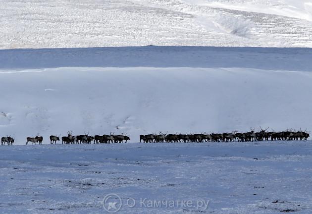 На острове Беринга зафиксировано самое крупное стадо оленей за все время наблюдений