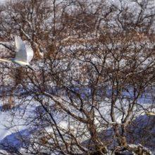 Сотни лебедей-кликунов остановились на зимовку в Кроноцком заповеднике